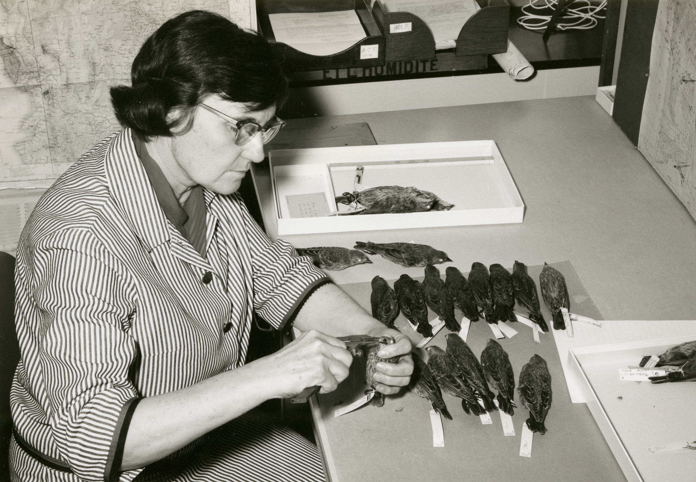 Laybourne's career at the Smithsonian began in the taxidermy shop, where she remade study skins of birds that had been collected in the field long before. Courtesy of Smithsonian Institution Archives