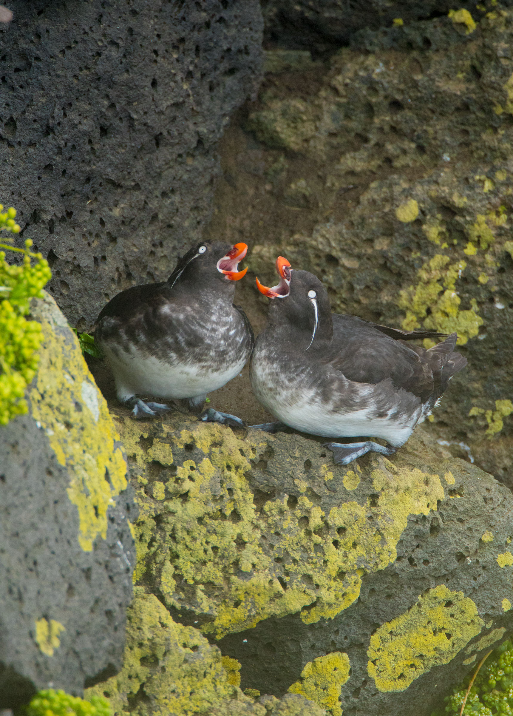 Quirkier species such as these Parakeet Auklets can be found on St. Paul Island. Marie Read