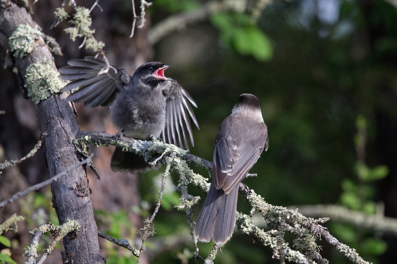 After fledging Canada Jays start engaging in turf wars among siblings. Melissa Groo