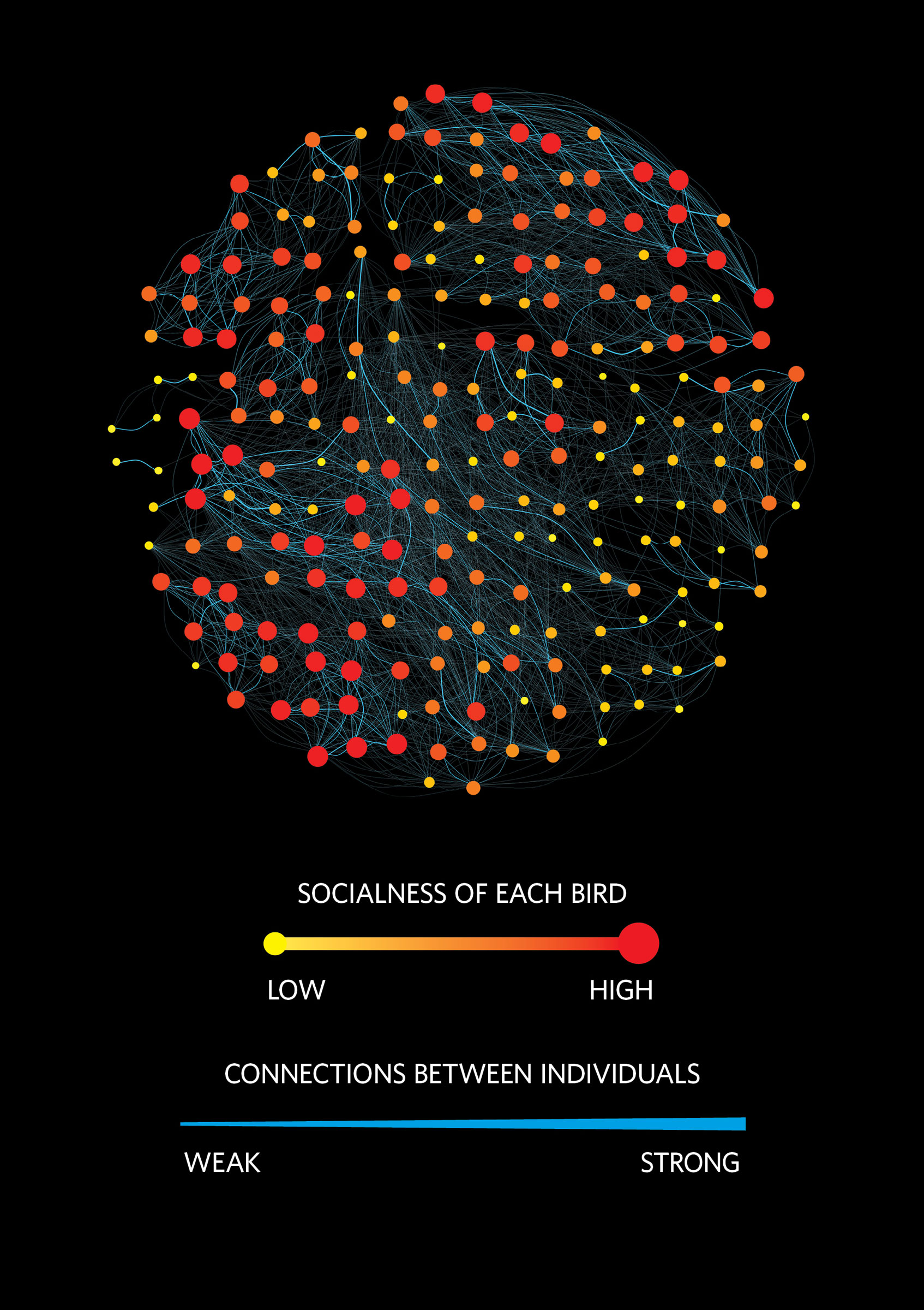 A visual representation of the social network of Wytham Woods Great Tits in winter: who interacts with whom, and how strong those ties are. Each circle represents one bird. Data visualization: Josh Firth