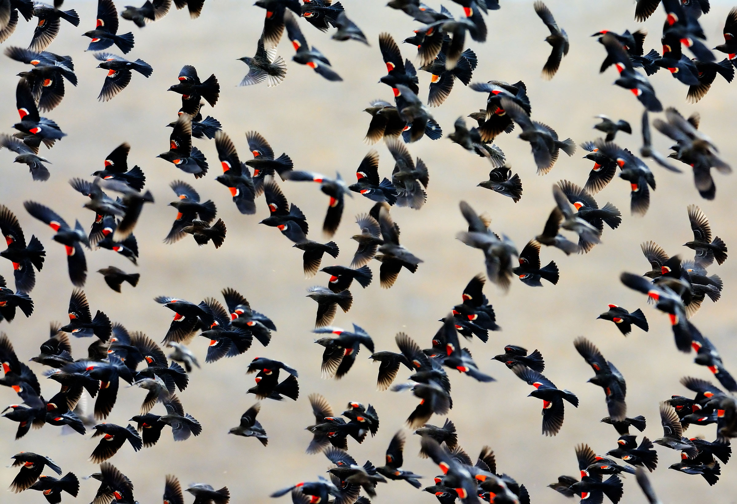 Tricolored Blackbirds nest in colonies of thousands of birds, so each colony is a significant part of the species' total population. Jerry Ting