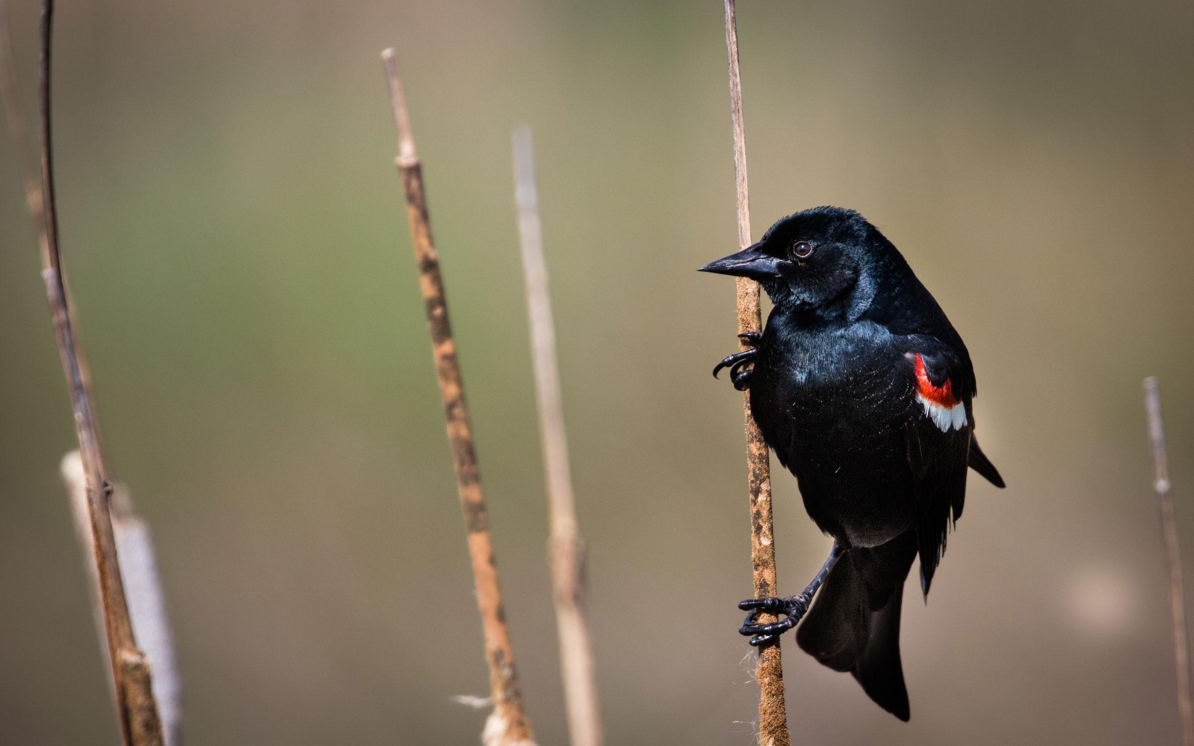 Around 95 percent of the world's Tricolored Blackbird live in California, putting the species population at around 178,000 birds. Jameson Scott