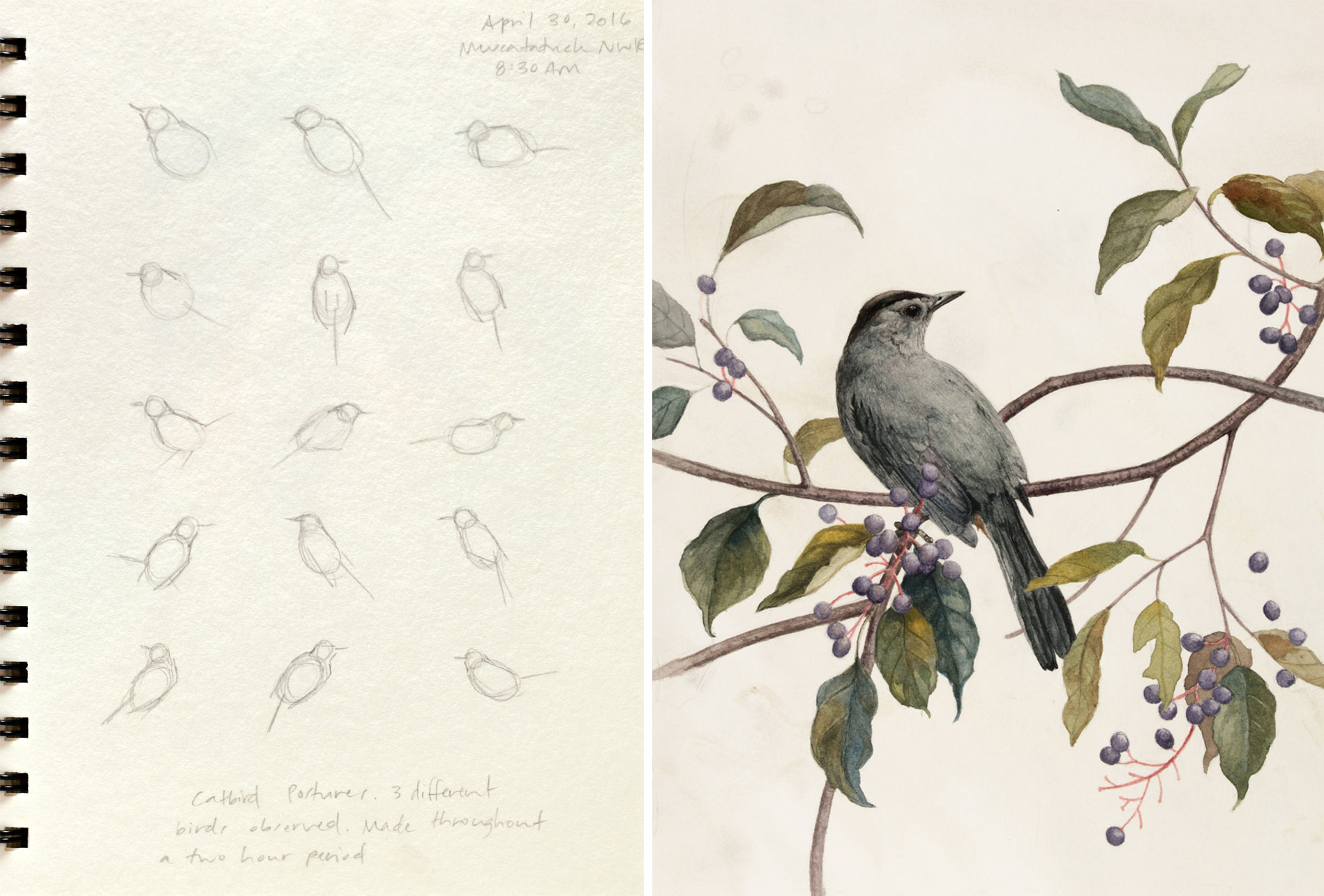 Unlike the thrasher, Warnick's Gray Catbird rendering is comprised of different individuals seen at the Muscatatuck National Wildlife Refuge. Drawings: Alex Warnick