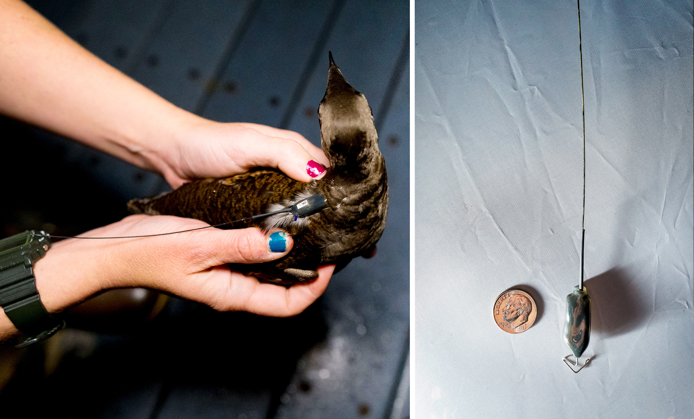 From left: A researcher holds a tagged Marbled Murrelet. The entire process of working with the bird, capture to release, takes under an hour; a closer look at the transmitter tag, compared to a U.S. dime. Photos: Jaymi Heimbuch