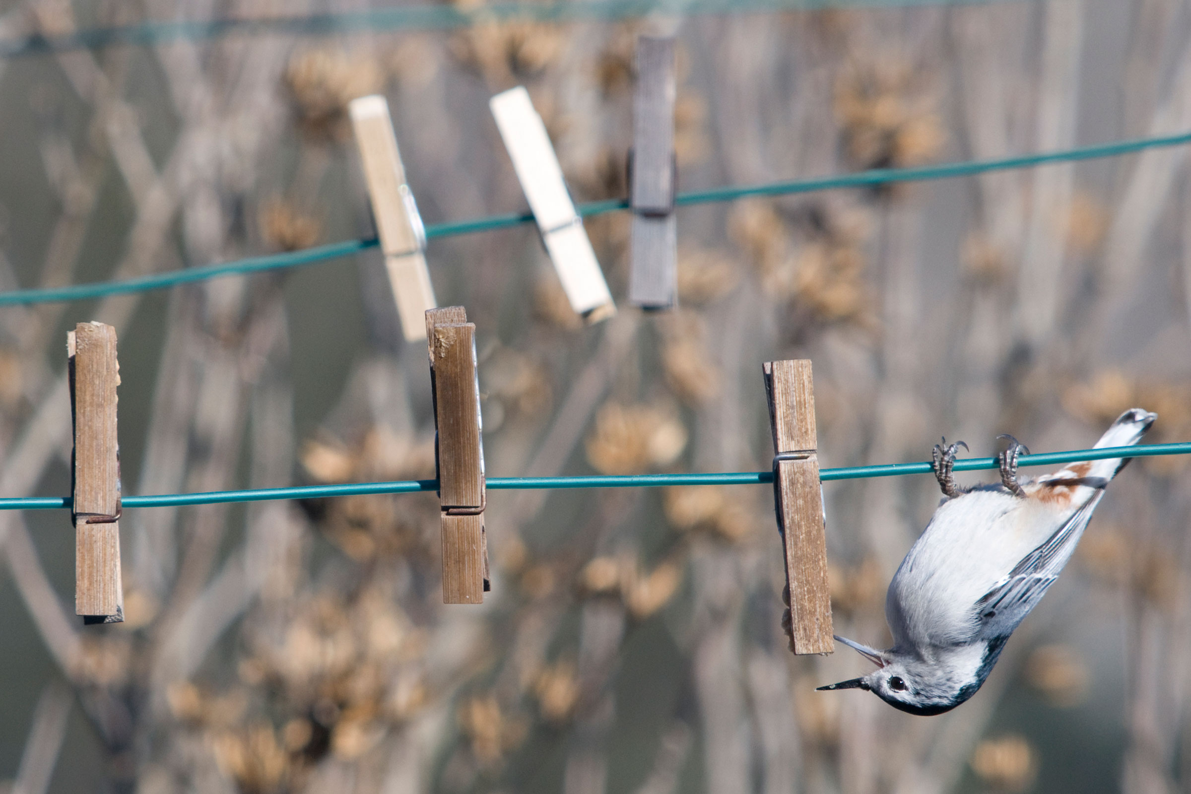 White-breasted Nuthatch. Michele Black/Audubon Photography Awards