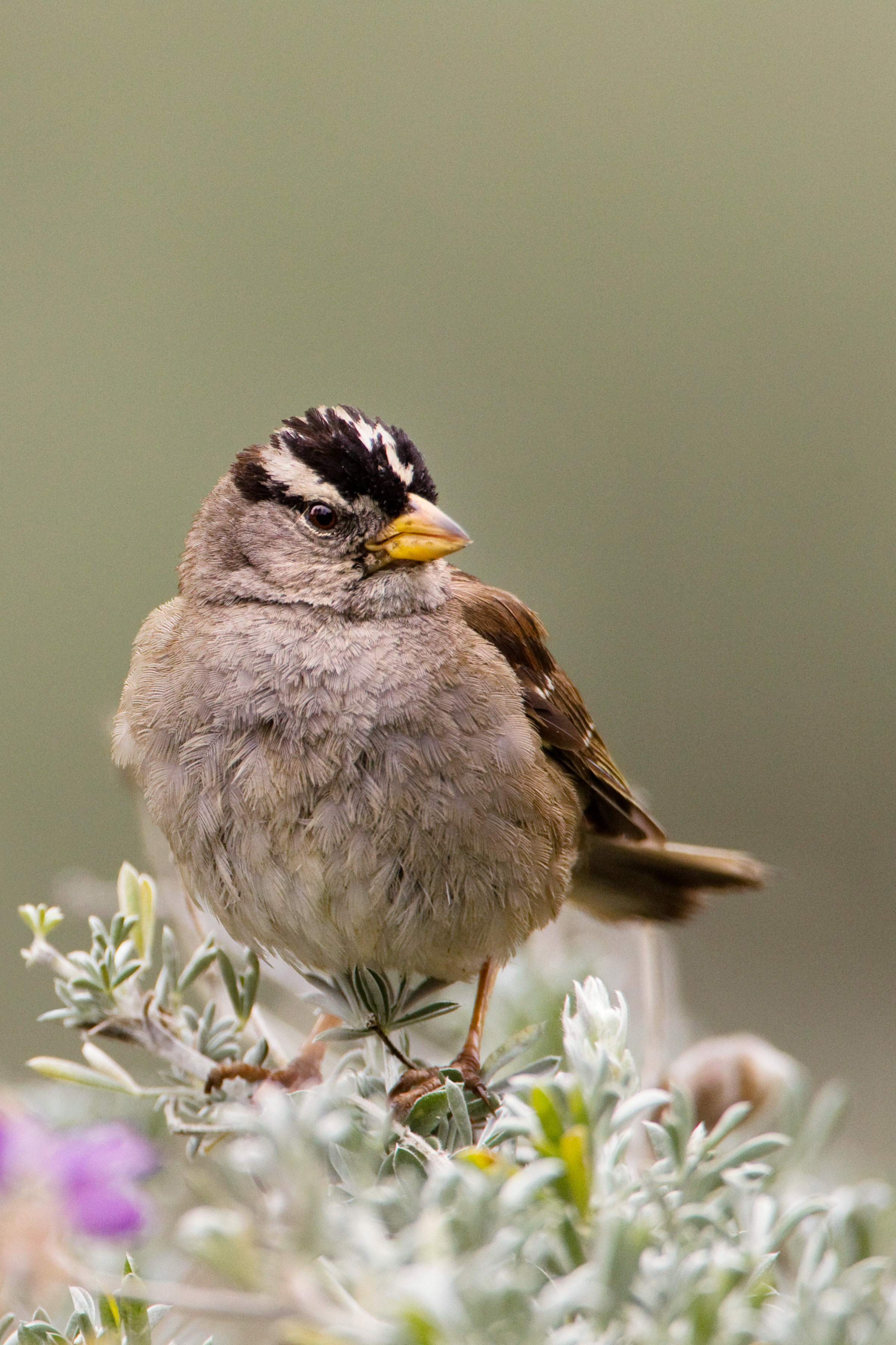 A White-crowned Sparrow from Presidio. Sebastian Kennerknecht/Minden Pictures