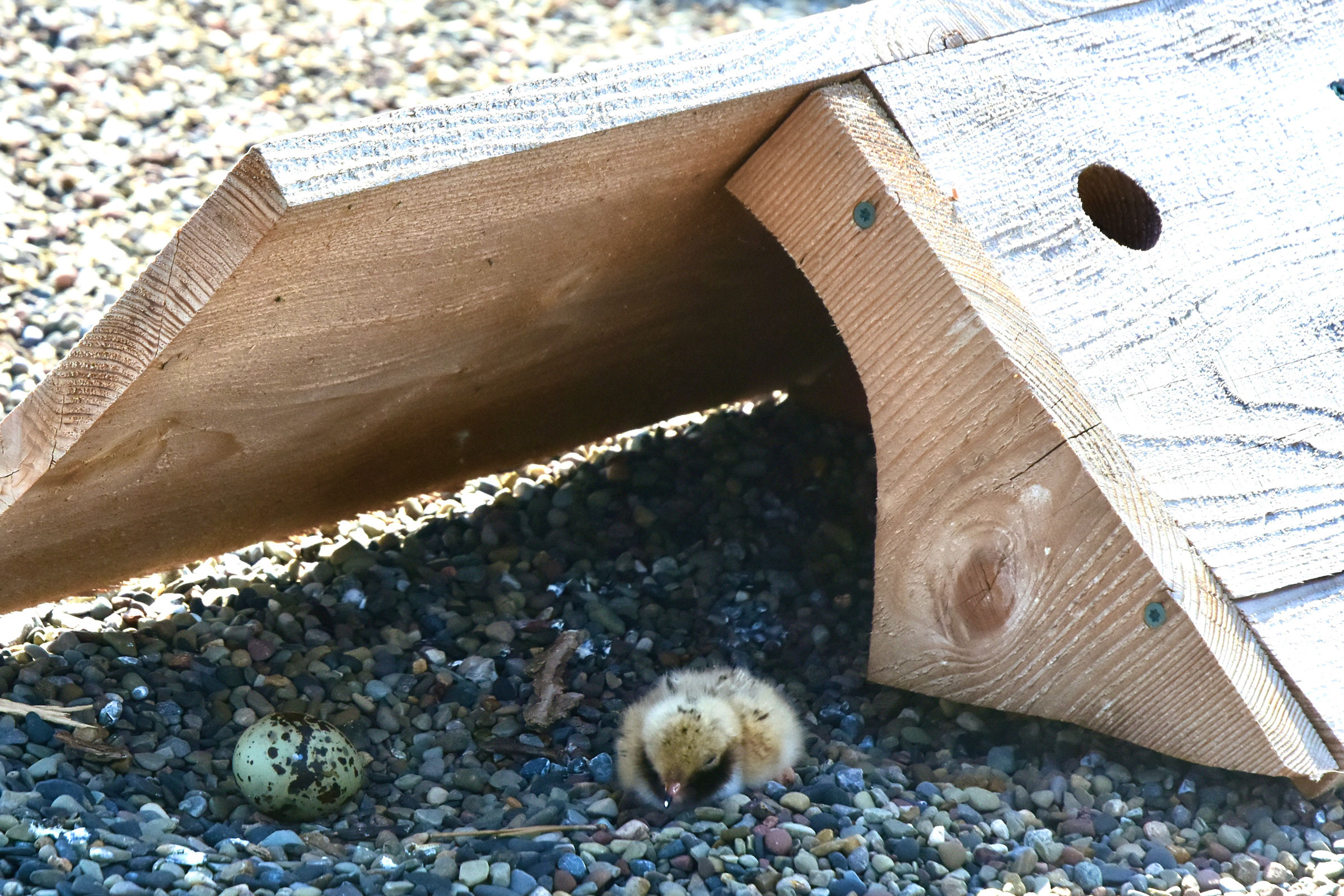 small fluffy beige and white bird hunkers down in gravel next to a wooden shelter