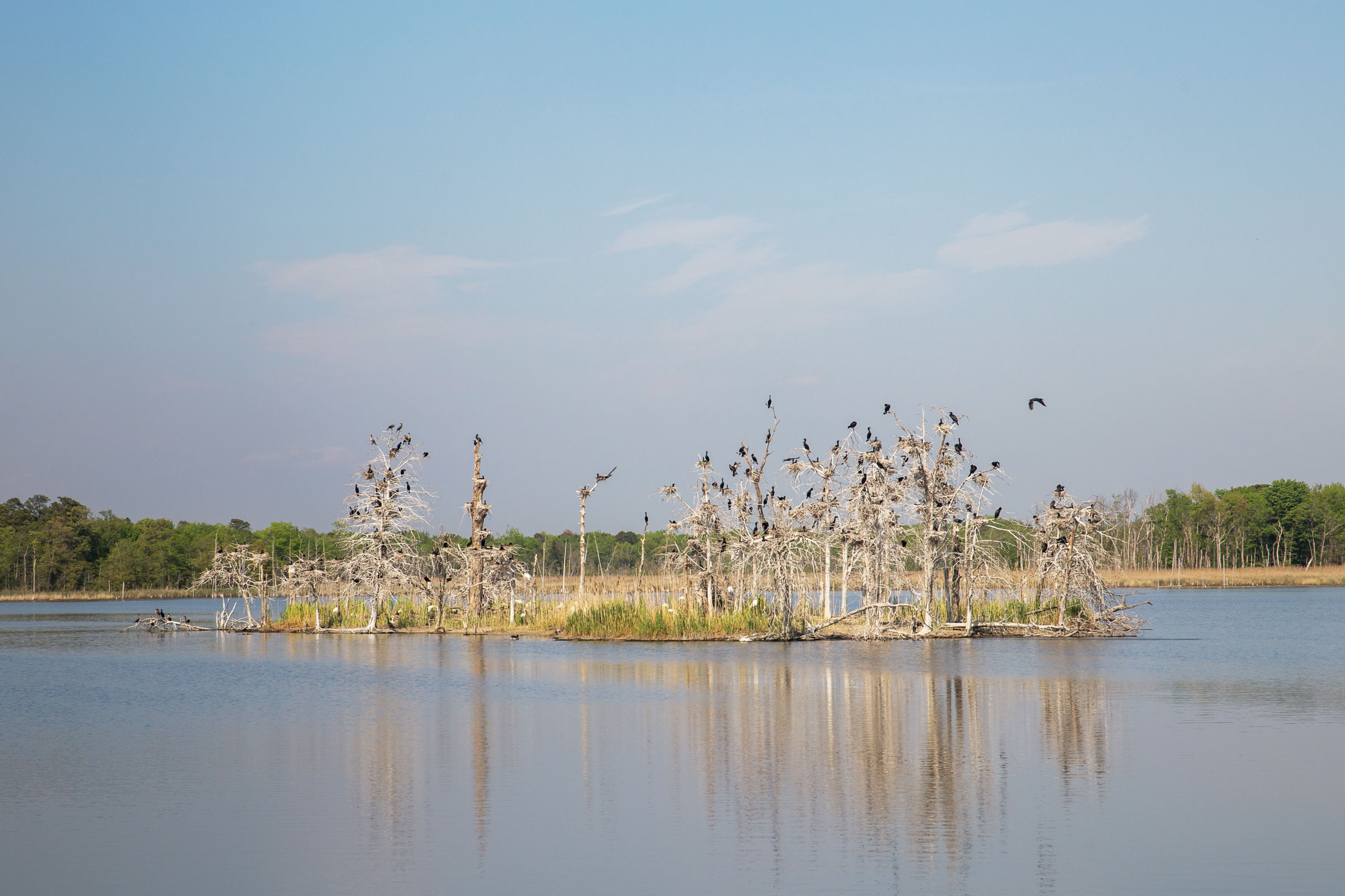 Double-crested Cormorants and other birds at the Heislerville Wildlife Management Area. Camilla Cerea/Audubon