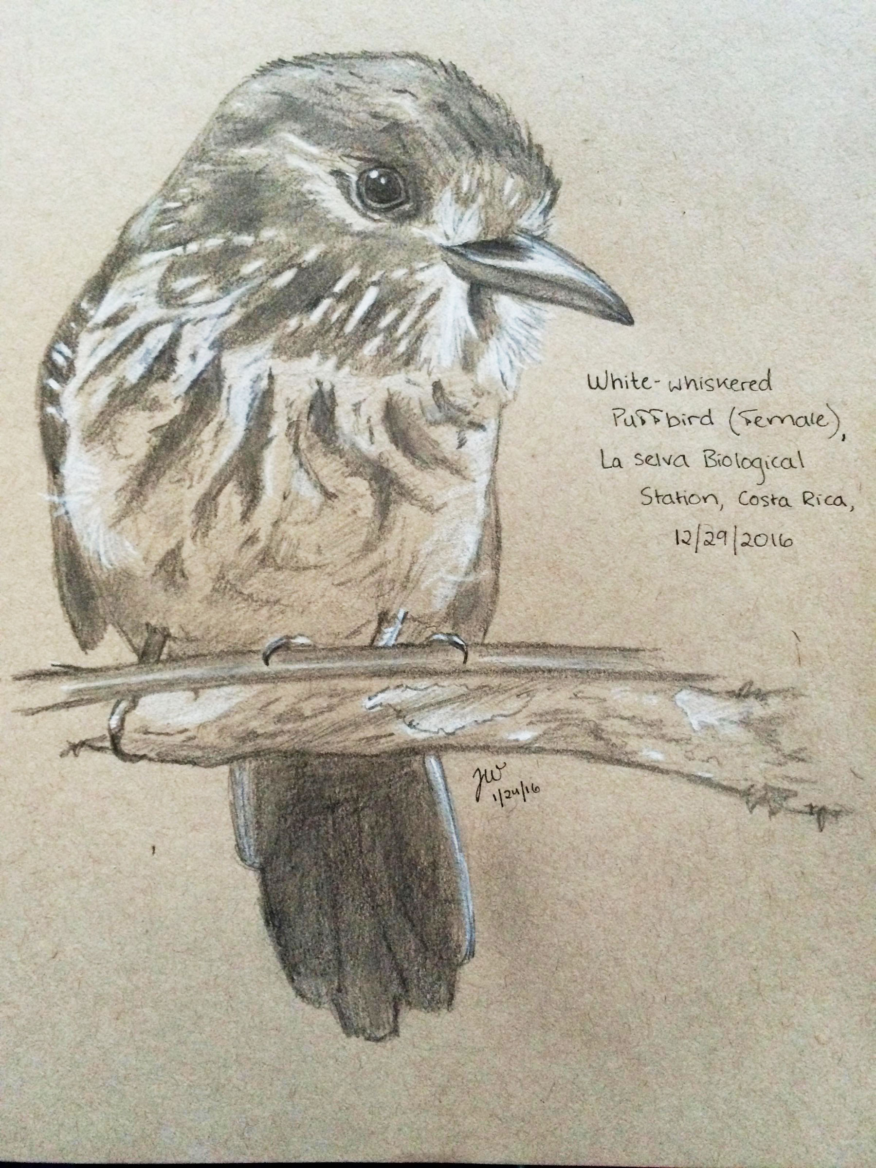 White-whiskered Puffbird. Illustration: Josh Ward