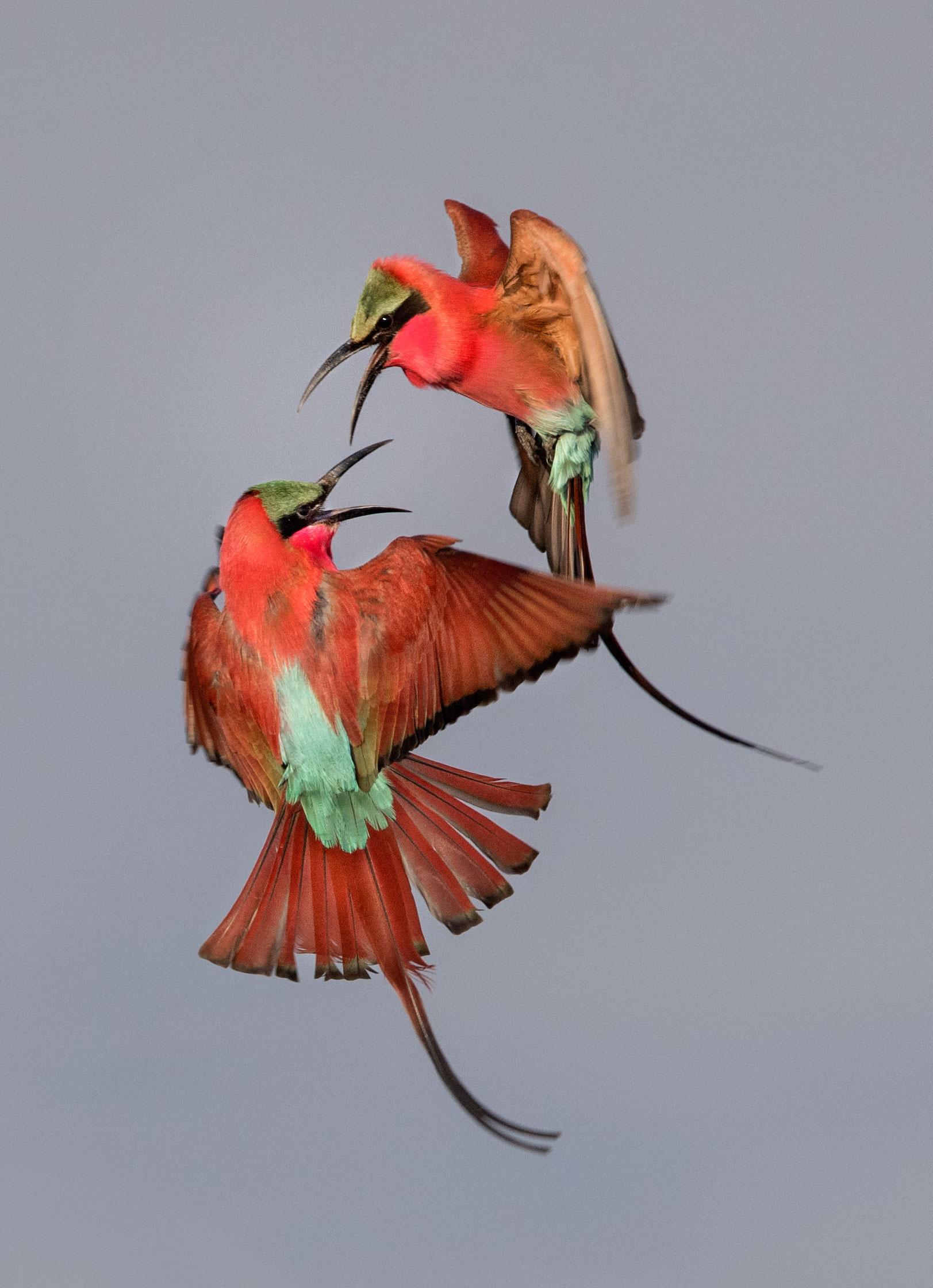 Southern Carmine Bee-eaters. Zachary Webster/Audubon Photography Awards