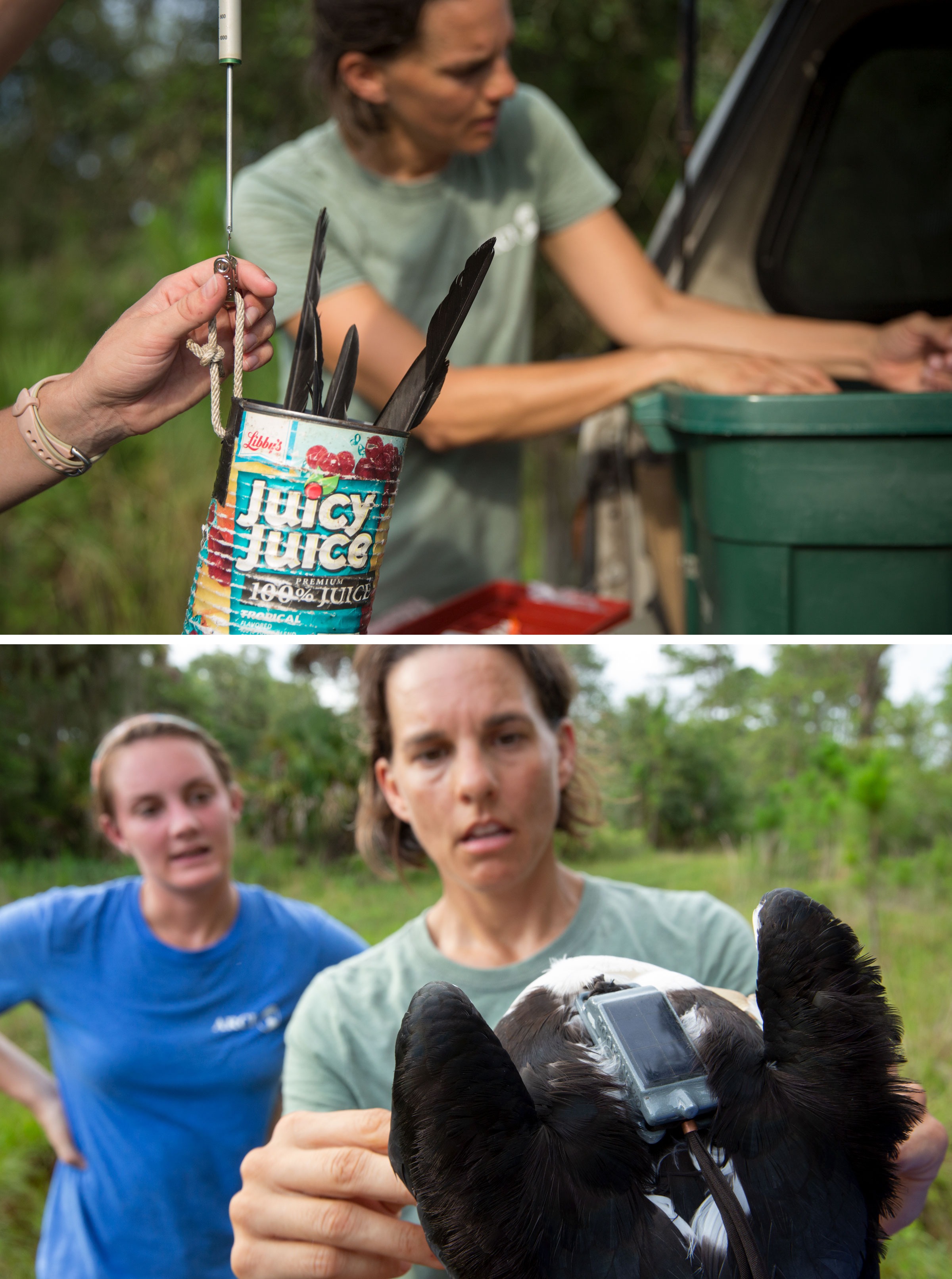 Before attaching a transmitter to the kite, they weigh and measure the bird (top). Gina Kent adjusts the harness of a solar-powered GSM/GPS transmitter (bottom), which can relay the bird's location for years. Photos: Mac Stone