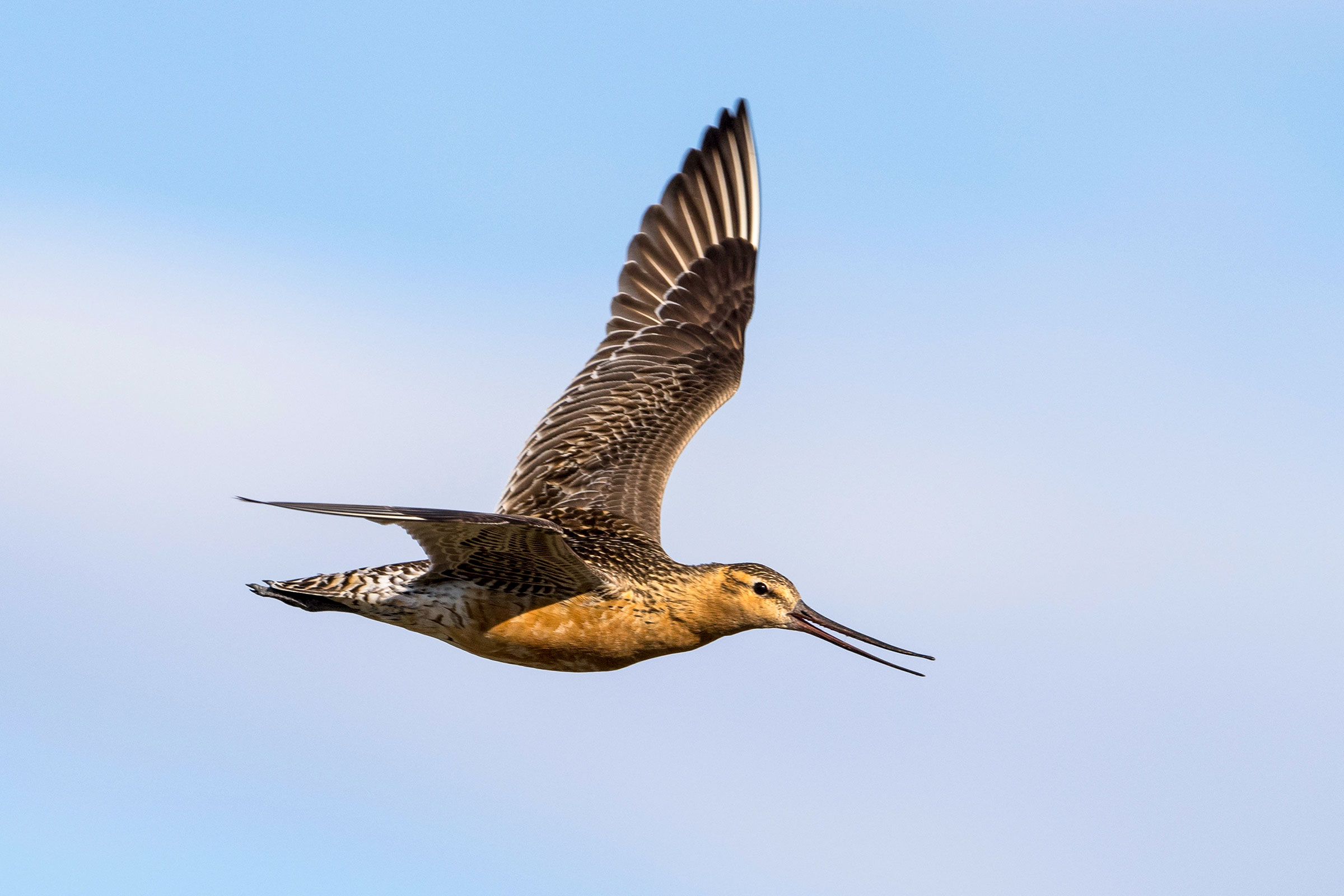 To fly 6,800 miles nonstop from Alaska to New Zealand each fall, Bar-tailed Godwits absorb parts of their digestive tract to make room for more fat to fuel their journey. Tom Ingram/Alamy