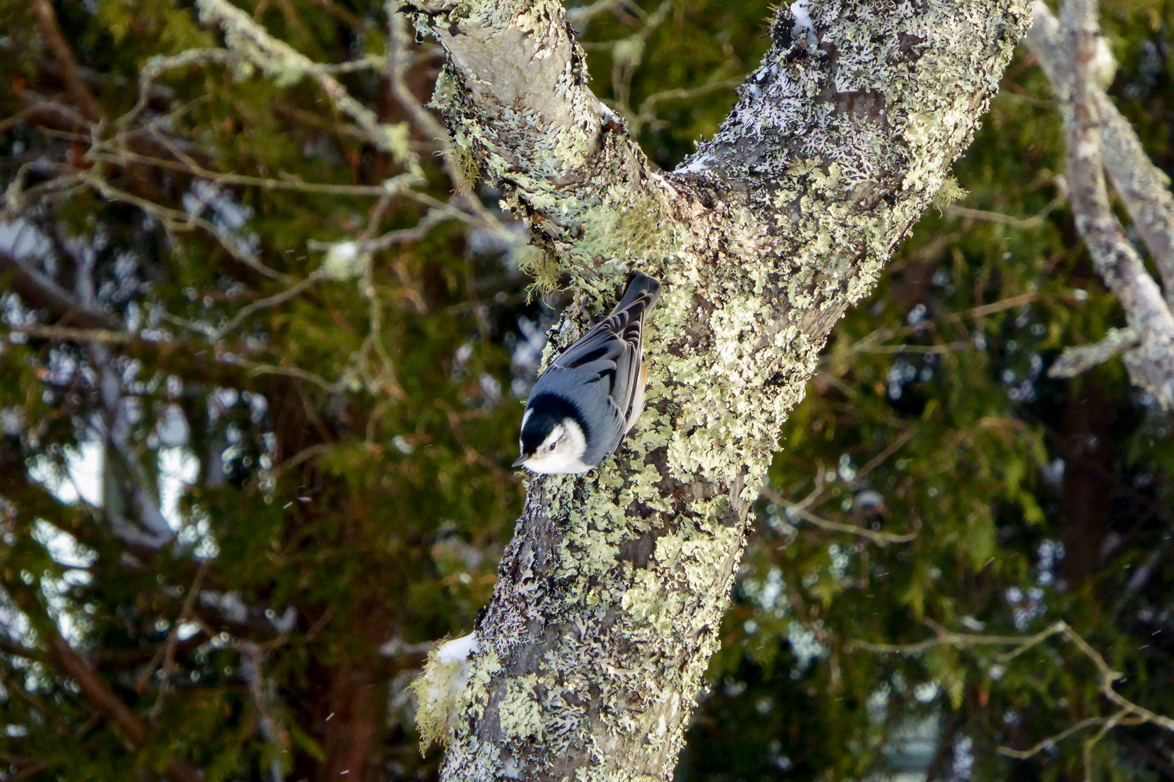 White-breasted Nuthatch. Shirley Zinn/Great Backyard Bird Count