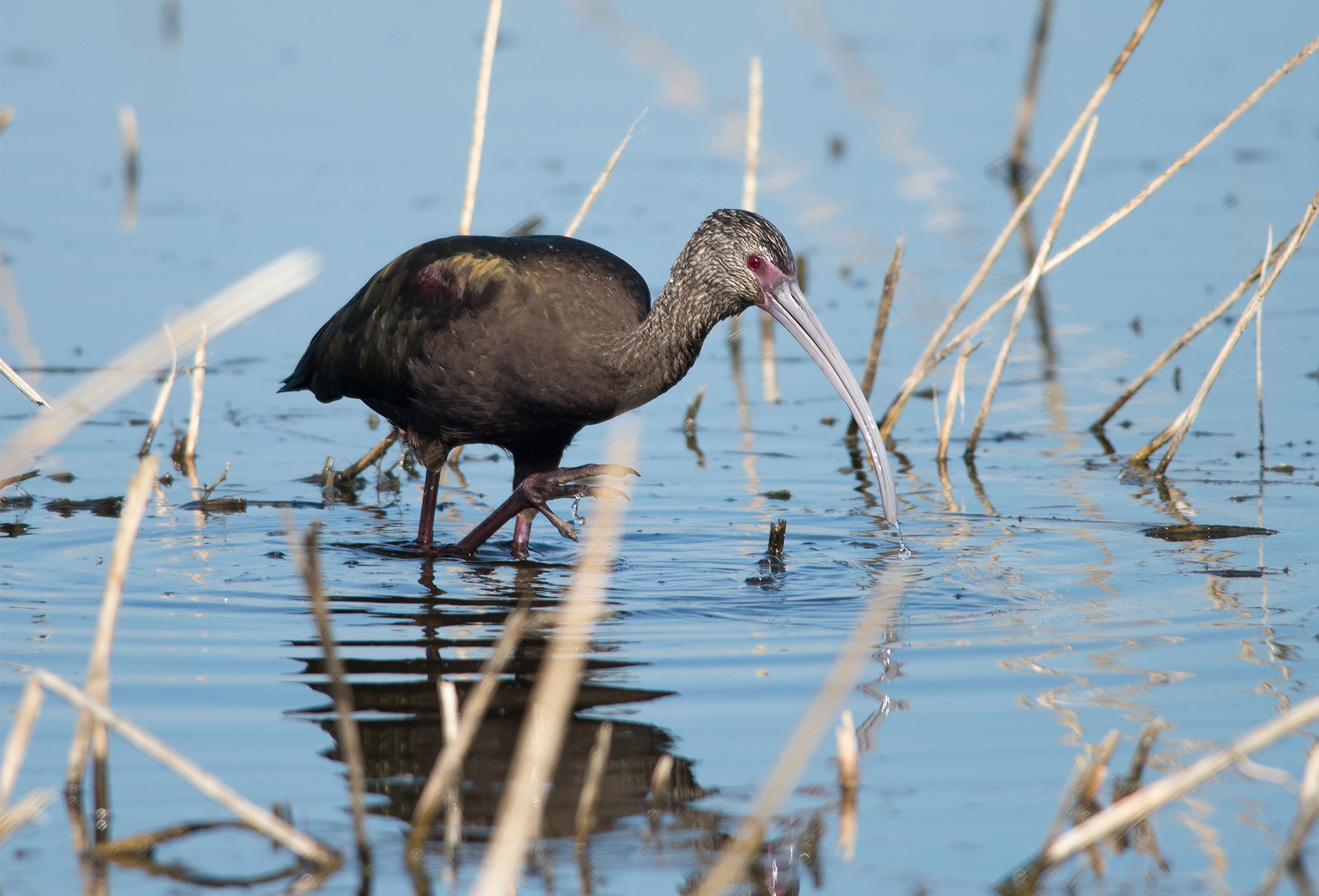 """White-faced Ibis in nonbreeding plumage. The bright pink patch of skin on its face and red eye distinguishes it from the Glossy Ibis. <a href=""""https://www.flickr.com/photos/pattymc/11165362556/"""">Patty McGann</a>/Flickr CC (BY-NC 2.0)"""