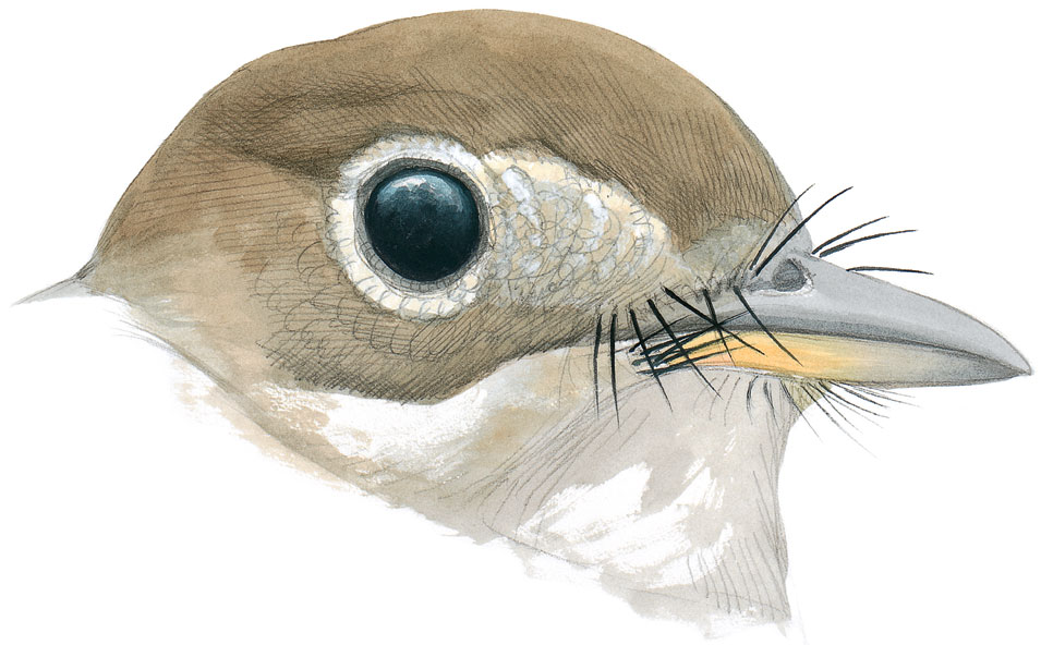 A Willow Flycatcher with rictal bristles around the base of the bill. Illustration: David Allen Sibley