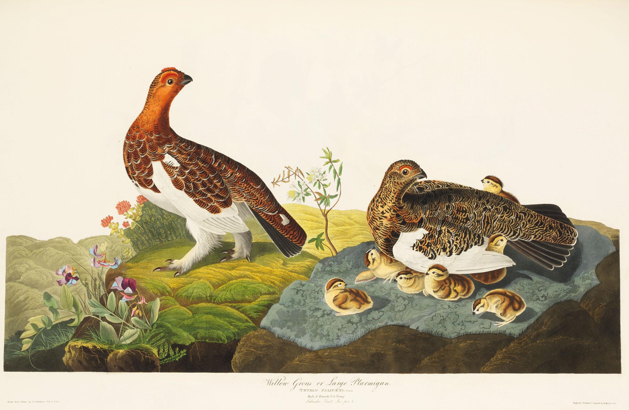 Willow Grouse or Large Ptarmigan (now Willow Ptarmigan). Illustration: John James Audubon