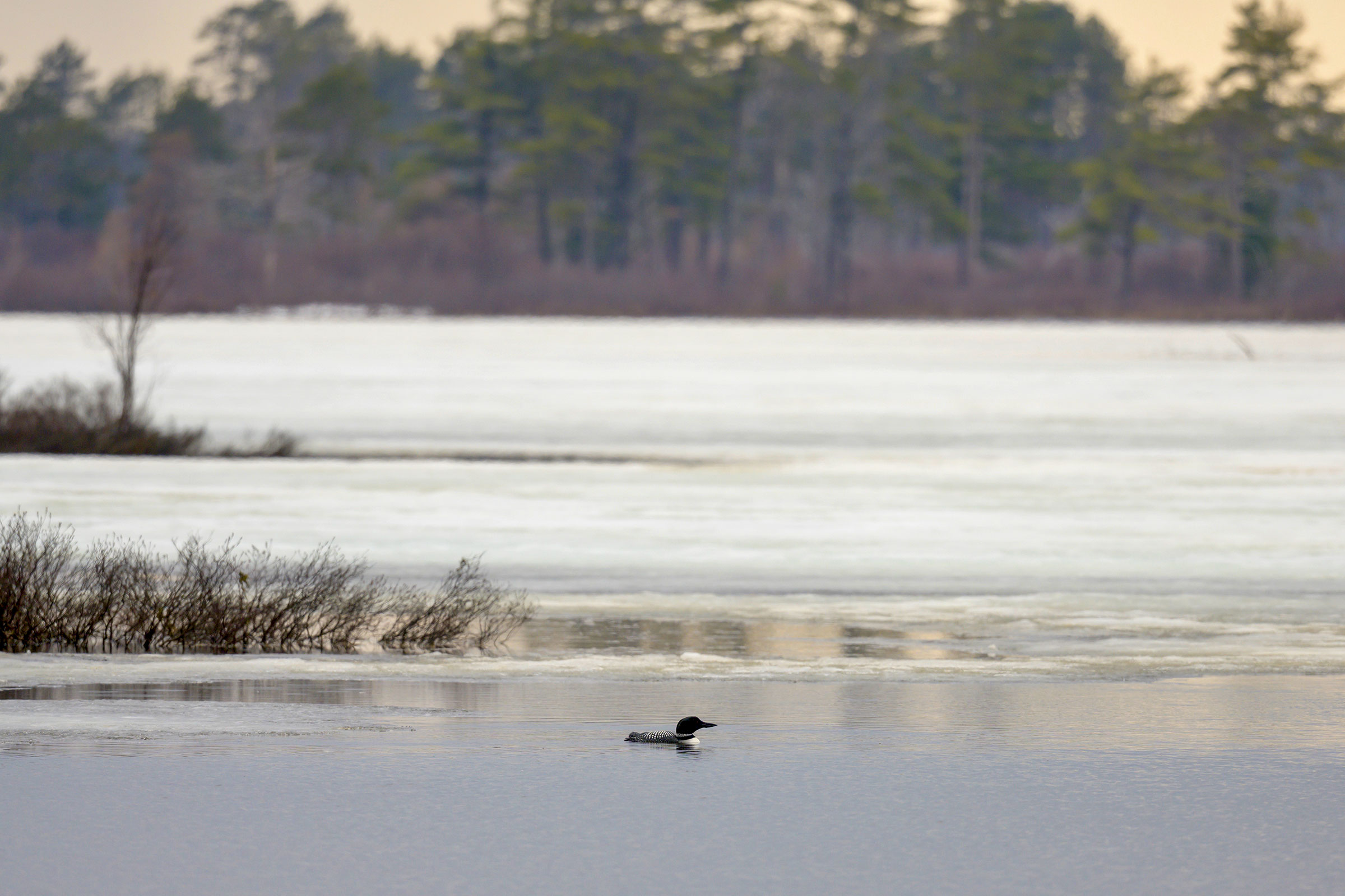 Fe on her territory at Seney National Wildlife Refuge in April 2020. Laura Wong