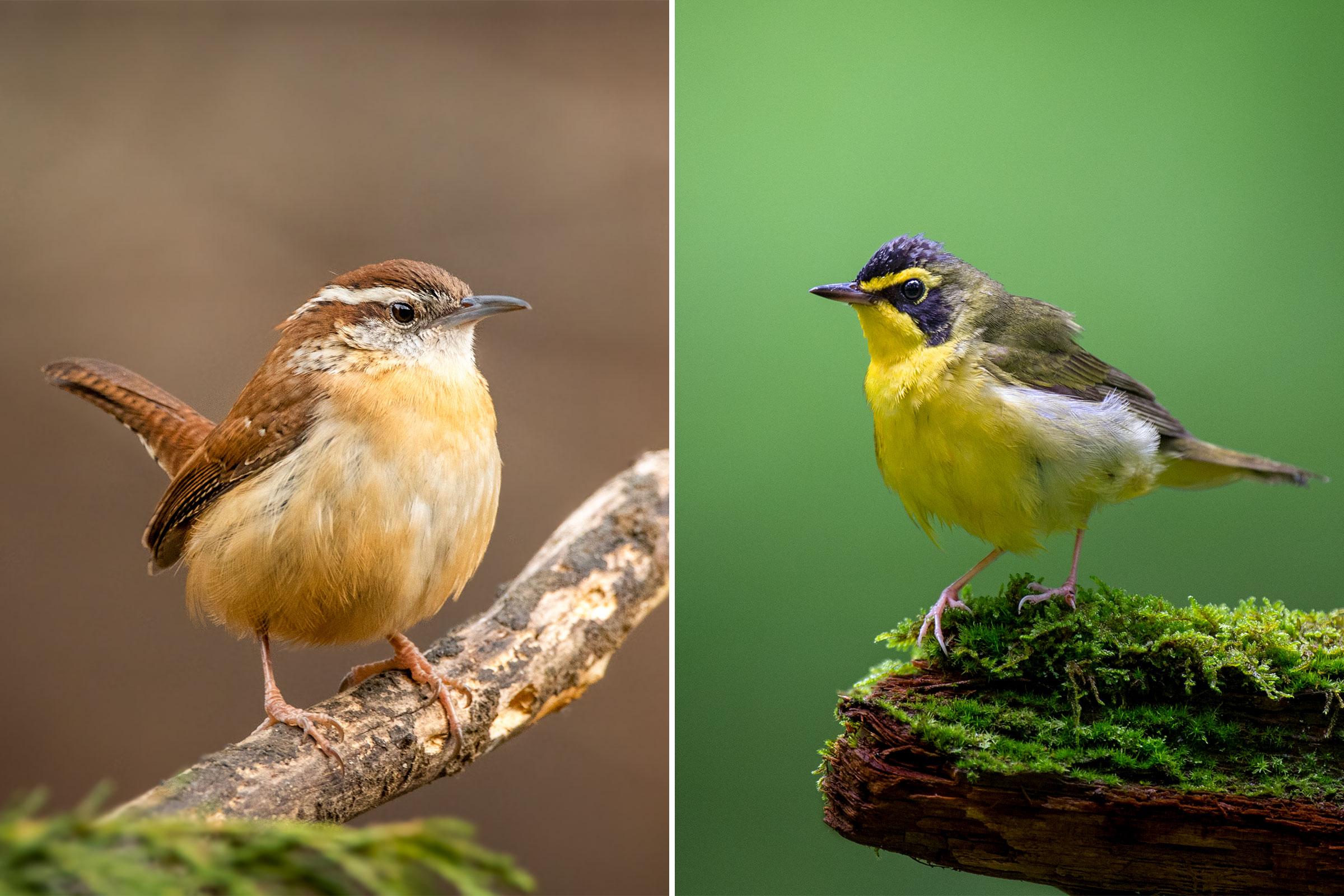 Photos from left: Carolina Wren, Jenny Burdette/Great Backyard Bird Count; Kentucky Warbler, Ray Hennessy/iStock