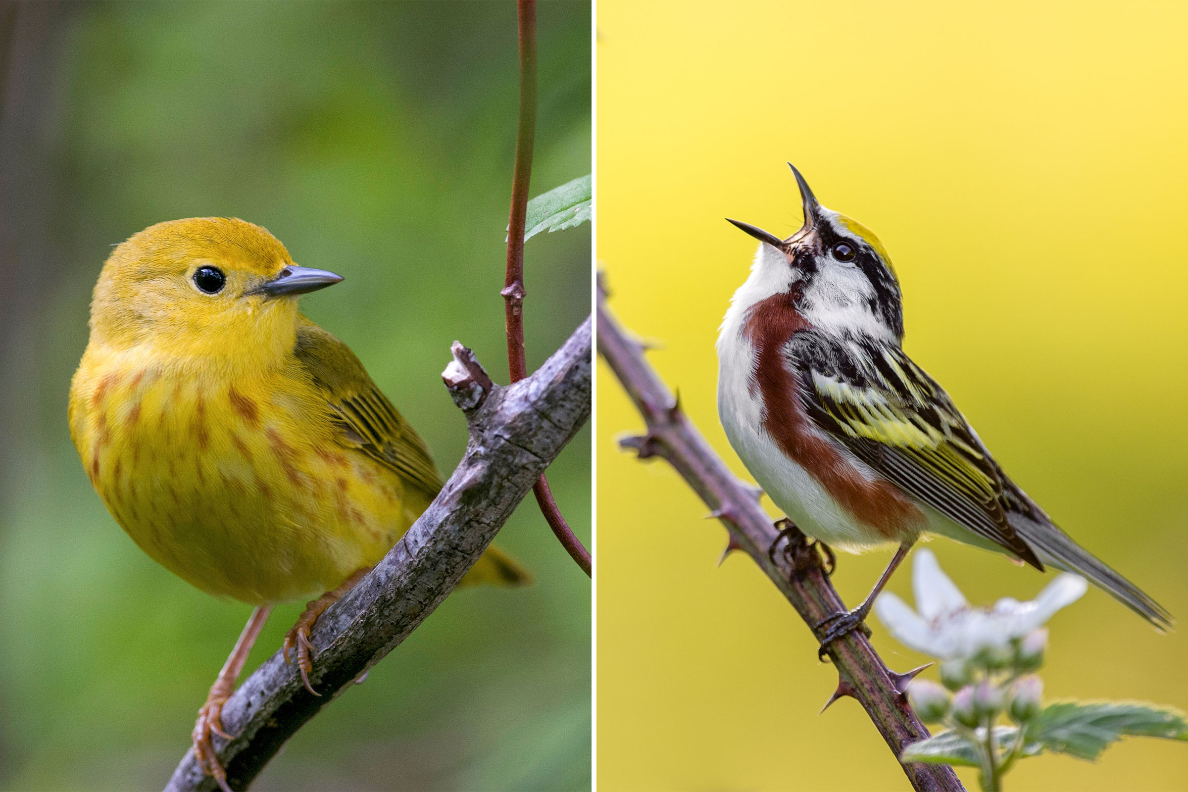 Photos from left: Yellow Warbler, Brian Collier/Audubon Photography Awards; Chestnut-sided Warbler, Ray Hennessy/iStock