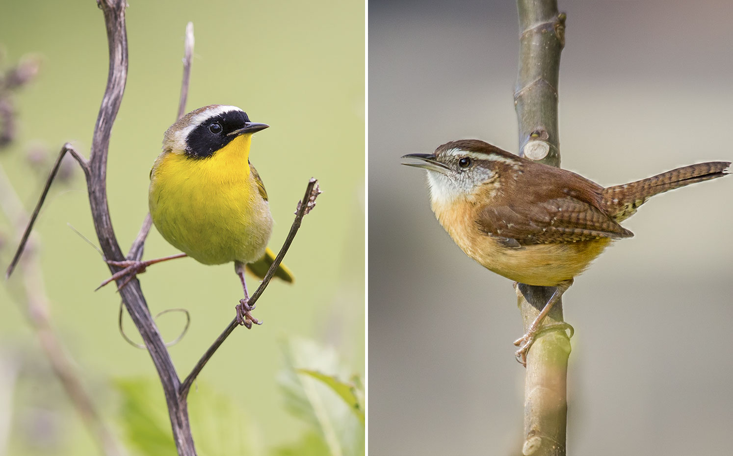 From left: Common Yellowthroat. Photo: Boe Baty/Audubon Photography Awards; Carolina Wren. Photo: Mike Smeets/Great Backyard Bird Count